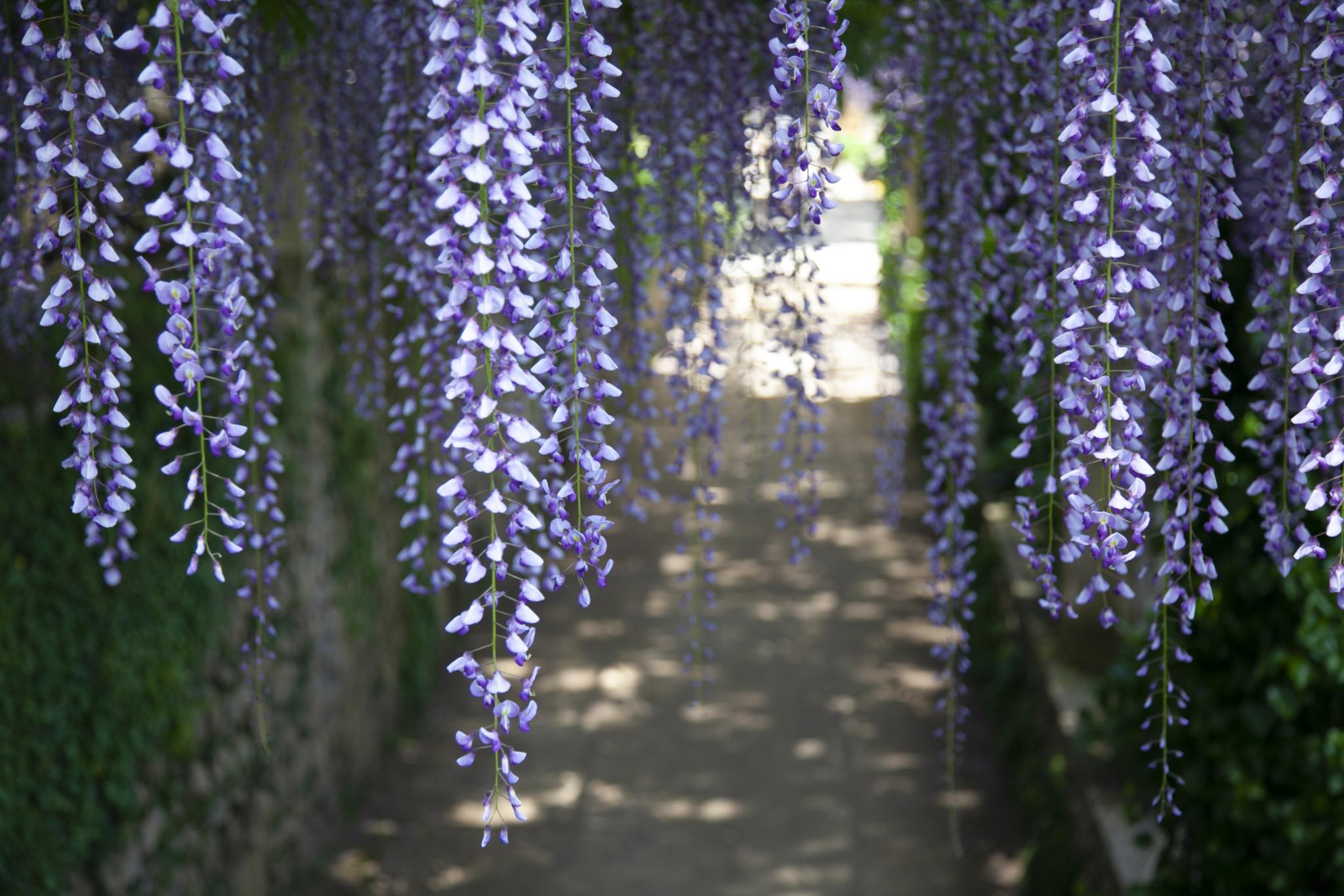 london wisteria company